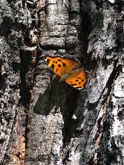 Der braune zaunkönig (lateinisch: aglais urticae, nymphalis urticae) ruht auf der rinde eines baumes