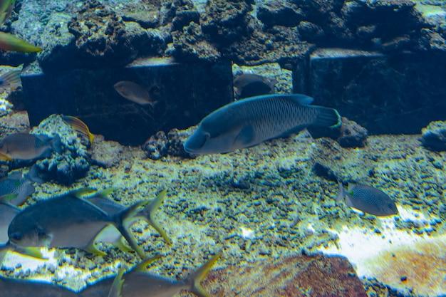 Der buckellippfisch im aquarium (cheilinus undulatus, maori, napoleon-lippfisch) ist eine große lippfischart, die hauptsächlich an korallenriffen im indopazifik vorkommt. atlantis, sanya, hainan, china.