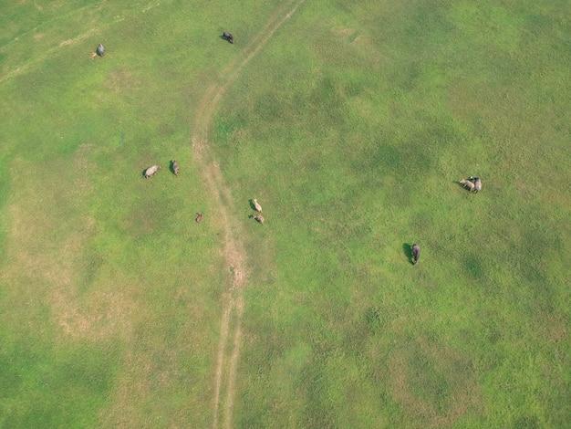 Der büffel in den grünen rasenflächen entlang dem fluss in der landschaft.