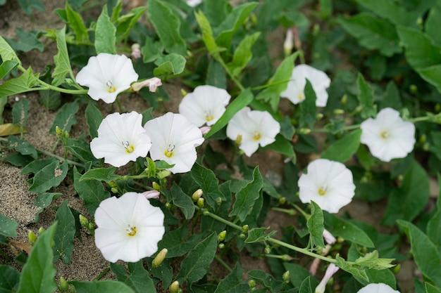 Der bund von feldwinde oder fiddle-leaf morning glory weiße blume auf dem boden auch feldwinde ist eine nicht heimische, langlebige staude