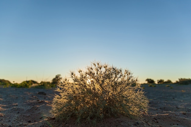 Der busch am sandstrand. das tumbleweed, das vom sonnenlicht am sandstrand glänzt.