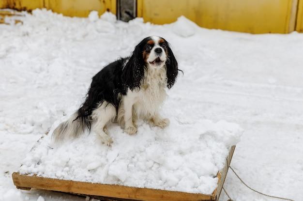 Der cavalier king charles spaniel hund hilft dem besitzer beim aufräumen des schnees und geht rodeln.