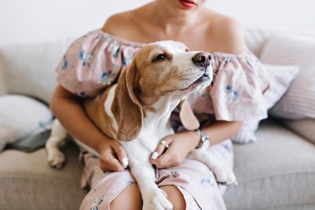 Der charmante beagle-hund schnüffelt etwas vor sich, während er auf den knien des mädchens liegt