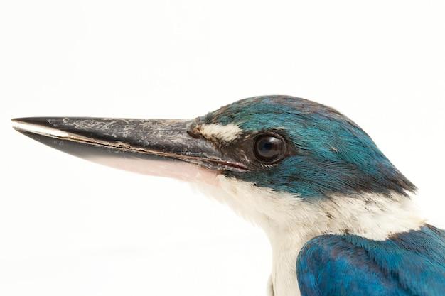 Der collared kingfisher-vogel (todiramphus chloris) isoliert