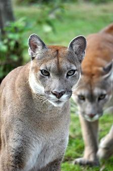 Der cougar