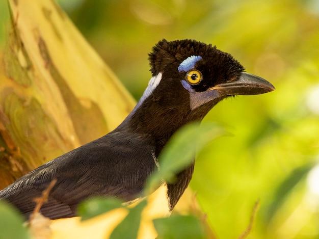 Der curl-crested-jay (cyanocorax cristatellus) ist ein eichelhäher aus südamerika.