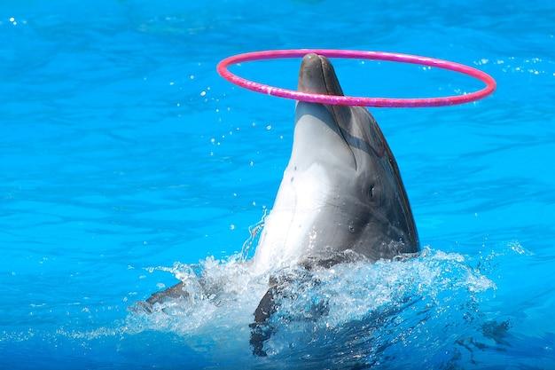 Der delphin dreht den reifen auf seiner nase