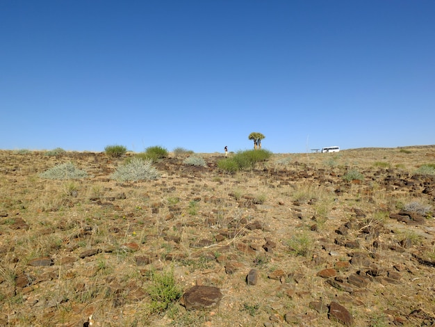Der drachenbaum in der wüste, windhoek, namibia