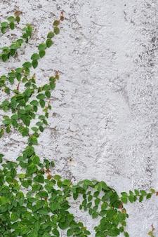 Der efeu an der wand aus ziegelsteinen als hintergrund.