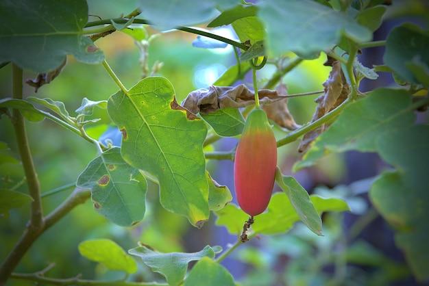 Der efeukürbis (wissenschaftlicher name: coccinia grandis), rote reife frucht, die an der rebe im garten hängt.