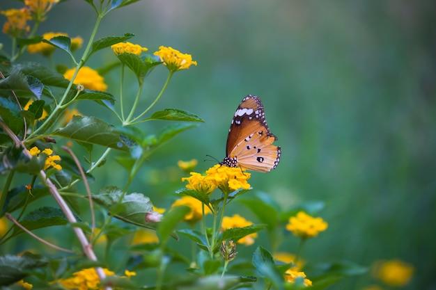 Der einfache tiger butterfly