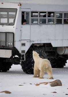 Der eisbär kommt einem speziellen auto für die arktis-safari sehr nahe. kanada. churchill national park.