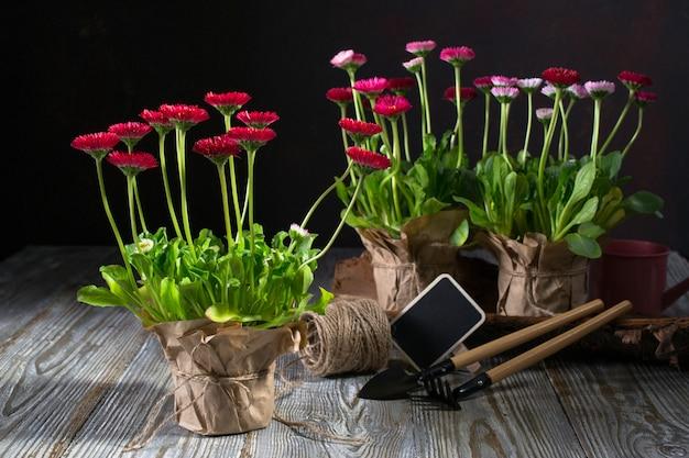 Der erste frühling bunte blumen bereit zum pflanzen. arbeitsbereich, frühlingsblumen pflanzen. gartengeräte, pflanzen in töpfen und gießkanne auf dunklem tisch