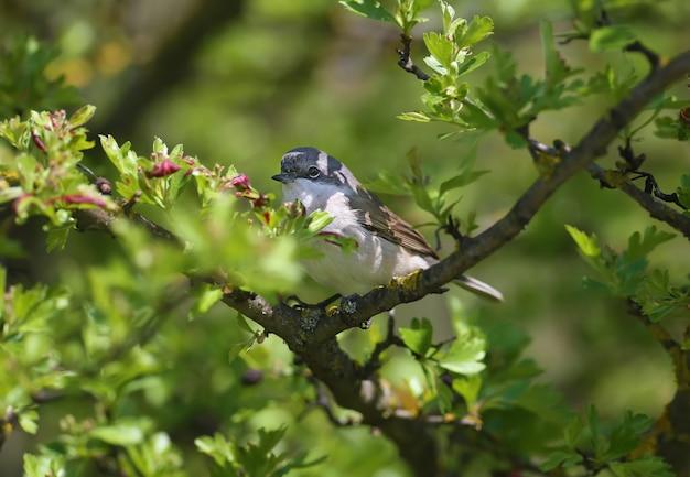 Der erste weißkehlchen (curruca curruca) dieses jahres wurde in einem blühenden busch mit grünen blättern geschossen.
