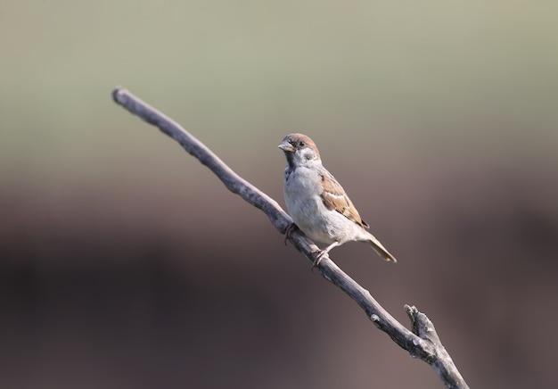 Der eurasische baumsperling (passer montanus) auf einer trockenen astnahaufnahme