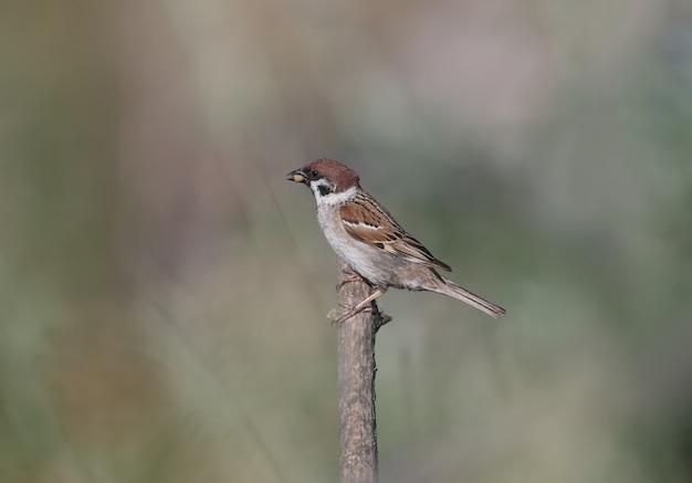 Der eurasische baumsperling (passer montanus) sitzt auf einem trockenen ast mit nahrung im schnabel