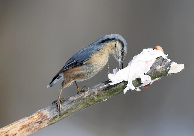 Der eurasische kleiber sitzt auf einem ast und isst ein schmalz.