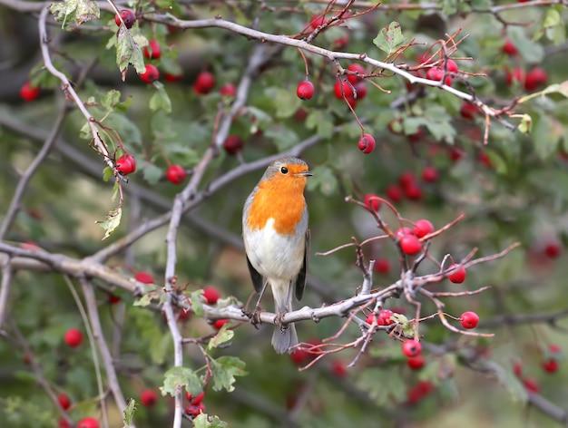 Der europäische robin sitzt auf einem weißdornbusch, umgeben von leuchtend roten beeren. aufgenommen auf einer verschwommenen beigen nahaufnahme
