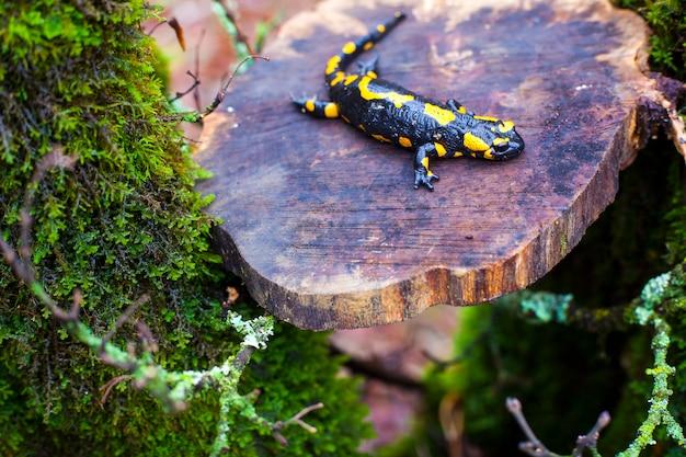 Der feuersalamander