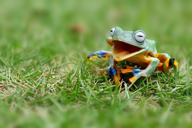 Der fliegende laubfrosch, als würde er lachen