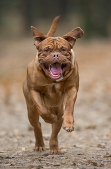 Der französische mastiff läuft im herbstpark. lustiges bild.