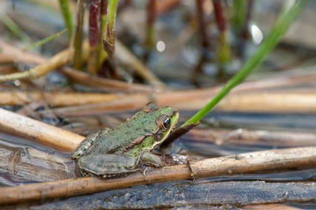 Der frosch sitzt auf zuckerrohr.