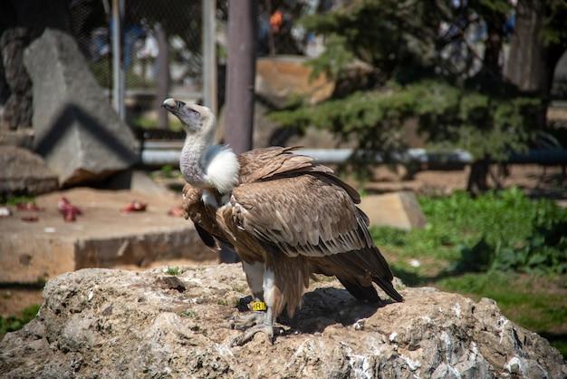 Der gänsegeier (gyps fulvus) ist eine große geierrasse der alten welt im zoo