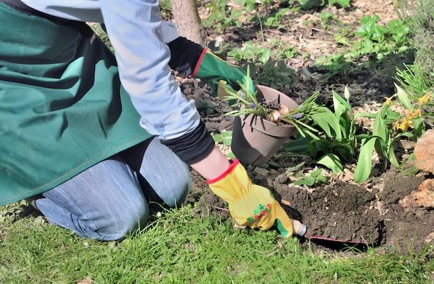 Der gärtner, der eine schaufel voll des bodens hängt, um birnen zu pflanzen, blüht in einem garten