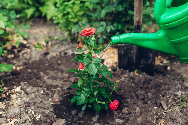 Der gärtner, der rosen gießt, blüht mit gießkanne, nachdem er verpflanzt hat. sommergartenarbeit.