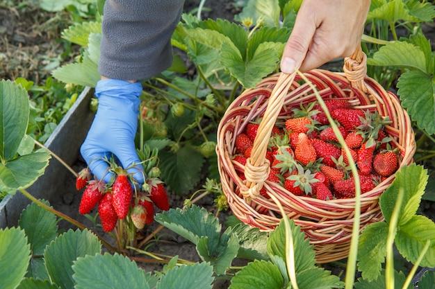 Der gärtner pflückt frische rote reife erdbeeren auf dem bett und legt sie in einen weidenkorb. sommerernte von frischen beeren im garten