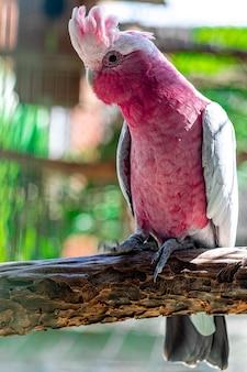 Der galah (eolophus roseicapilla), auch rosa und grau genannt, ist einer der häufigsten und am weitesten verbreiteten kakadus.
