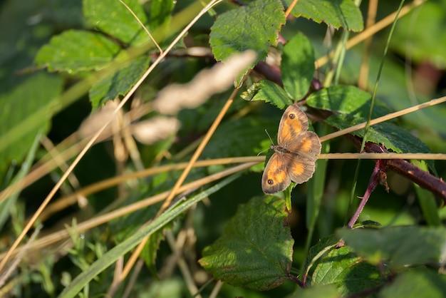 Der gatekeeper oder hedge brown (pyronia tithonus) schmetterling ruht auf einem stiel