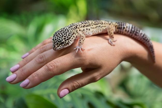 Der gefleckte gecko sitzt auf der hand einer frau auf einem grünen hintergrund auf einem exotischen tier