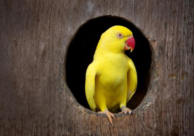 Der gelbe papagei.