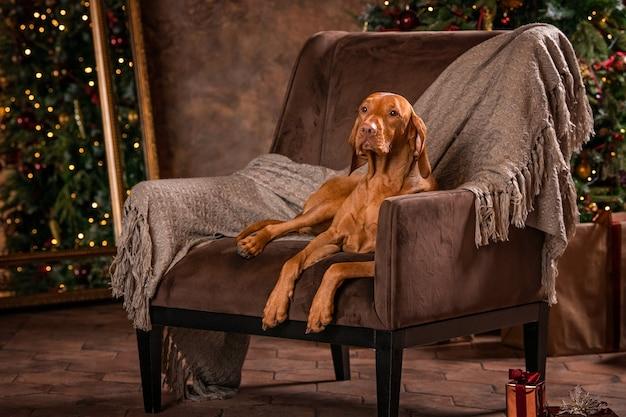 Der glatthaarige hund liegt auf einem stuhl neben dem weihnachtsbaum