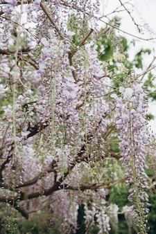 Der glyzinienbaum mit weißen blüten