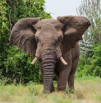 Der große elefant schüttelt wütend den kopf.