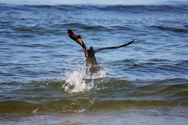 Der große schwarze kormoran phalacrocorax carb jagt im meer nach fischen. defokussieren