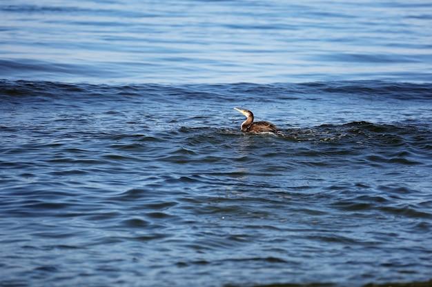 Der große schwarze kormoran phalacrocorax carb jagt im meer nach fischen. weicher selektiver fokus