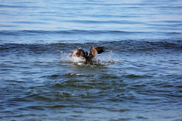 Der große schwarze kormoran phalacrocorax carb jagt im meer nach fischen.
