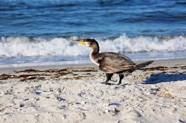 Der große schwarze kormoran phalacrocorax carb trocknet an der küste.