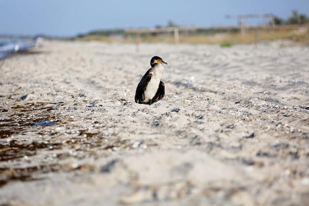 Der große schwarze kormoran phalacrocorax carb trocknet federn am strand.