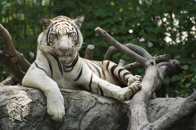 Der große tiger ruhte auf dem holz im zoo.