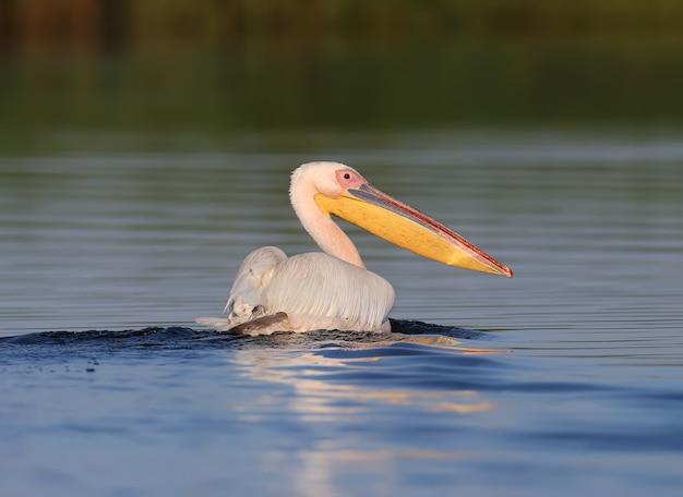 Der große weiße pelikan am frühen morgen in der nahaufnahme des weichen sonnenlichts