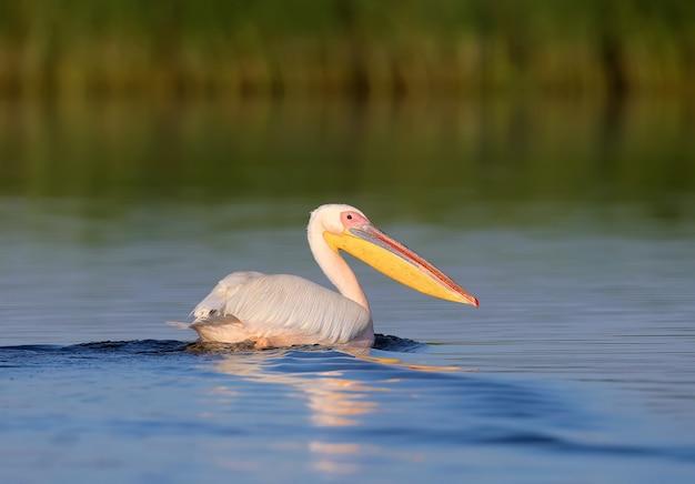 Der große weiße pelikan (pelecanus onocrotalus) am frühen morgen in der nahaufnahme des weichen sonnenlichts