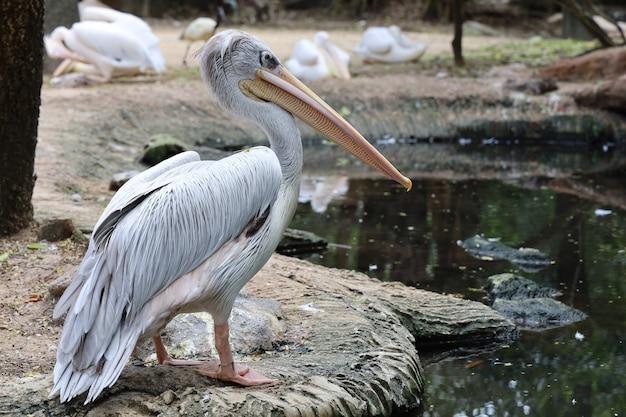 Der große weiße pelikanvogel im garten