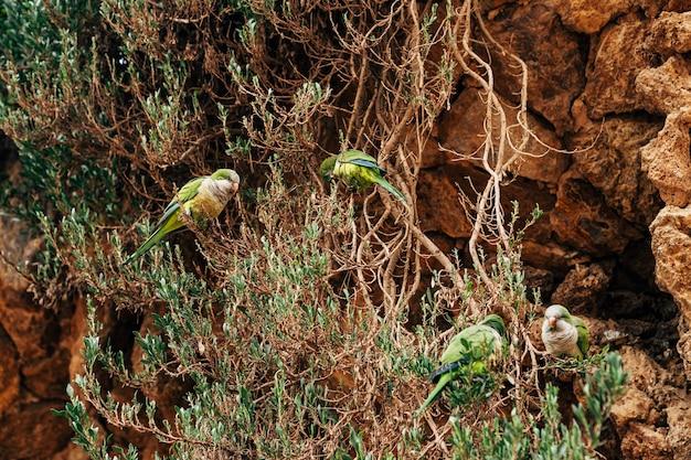 Der grüne papageienmönch oder kalita oder myiopsitta monachus im park güell barcelona spanien