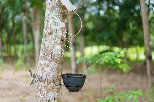 Der gummibaum (hevea brasiliensis) produziert latex, indem er ethylengas verwendet, um die produktivität zu beschleunigen. latex wie milch wird in handschuhe, kondome, reifen, reifen und so weiter geleitet.