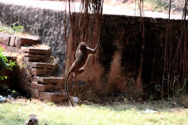 Der haubenmakakenaffe spielt mit banyanbaumwurzeln.