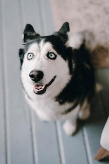 Der heisere hund schaut auf. der mitleidige blick eines hundes. schöner husky hund. der hund ist zu hause.